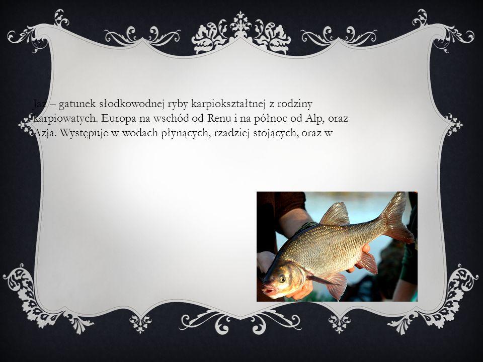 Jaź – gatunek słodkowodnej ryby karpiokształtnej z rodziny karpiowatych. Europa na wschód od Renu i na północ od Alp, oraz Azja. Występuje w wodach pł
