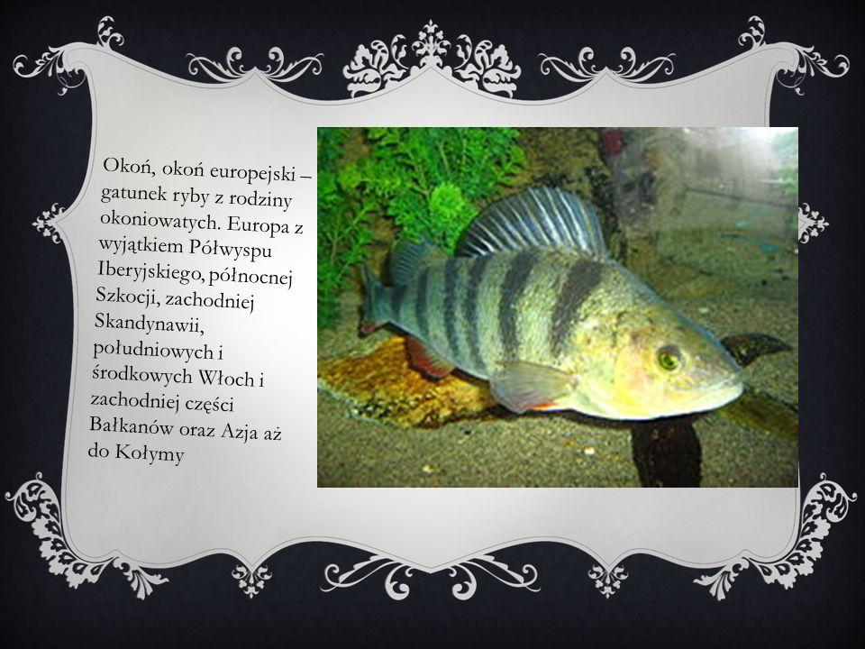 Okoń, okoń europejski – gatunek ryby z rodziny okoniowatych. Europa z wyjątkiem Półwyspu Iberyjskiego, północnej Szkocji, zachodniej Skandynawii, połu