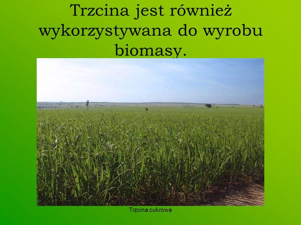 Trzcina cukrowa Trzcina jest również wykorzystywana do wyrobu biomasy.