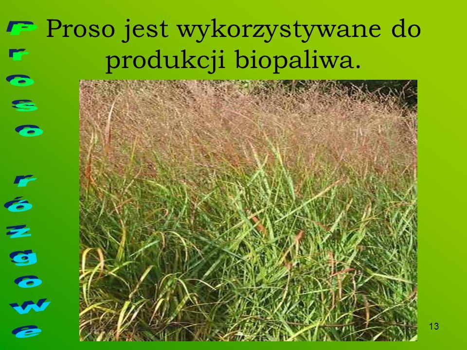 13 Proso jest wykorzystywane do produkcji biopaliwa.