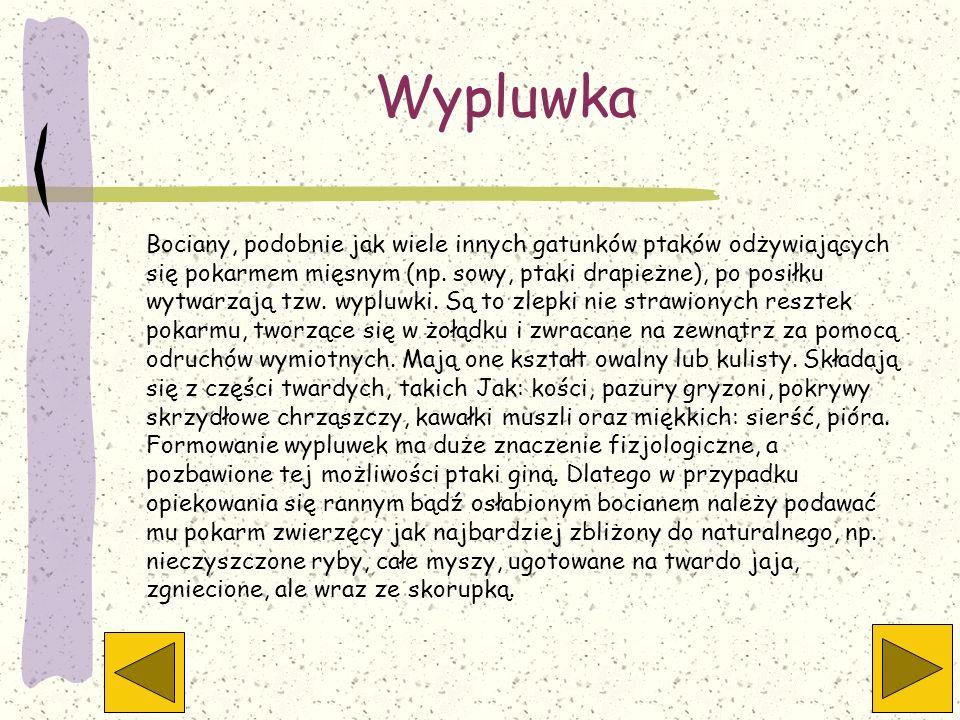 Wypluwka Bociany, podobnie jak wiele innych gatunków ptaków odżywiających się pokarmem mięsnym (np. sowy, ptaki drapieżne), po posiłku wytwarzają tzw.