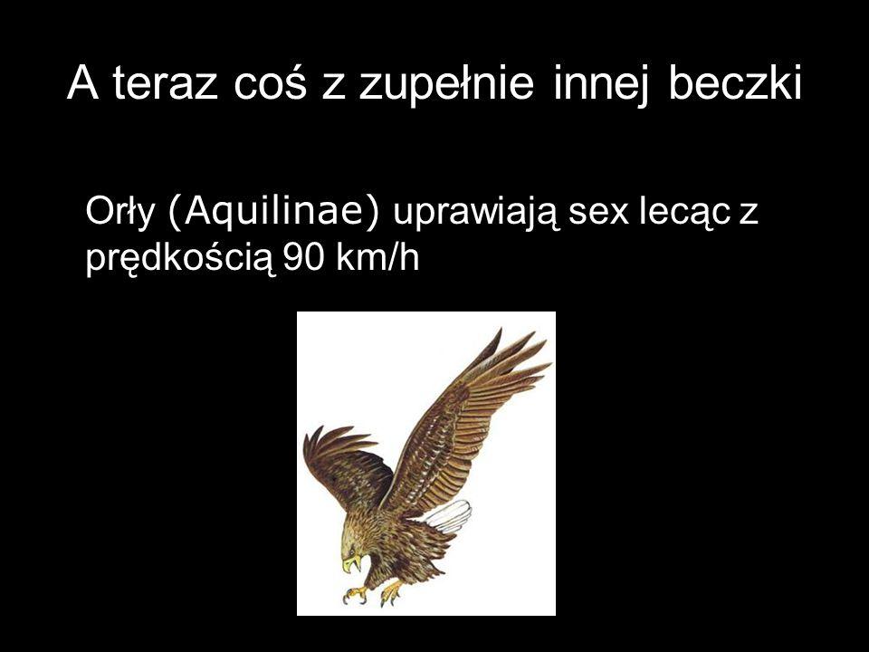 A teraz coś z zupełnie innej beczki Orły (Aquilinae) uprawiają sex lecąc z prędkością 90 km/h