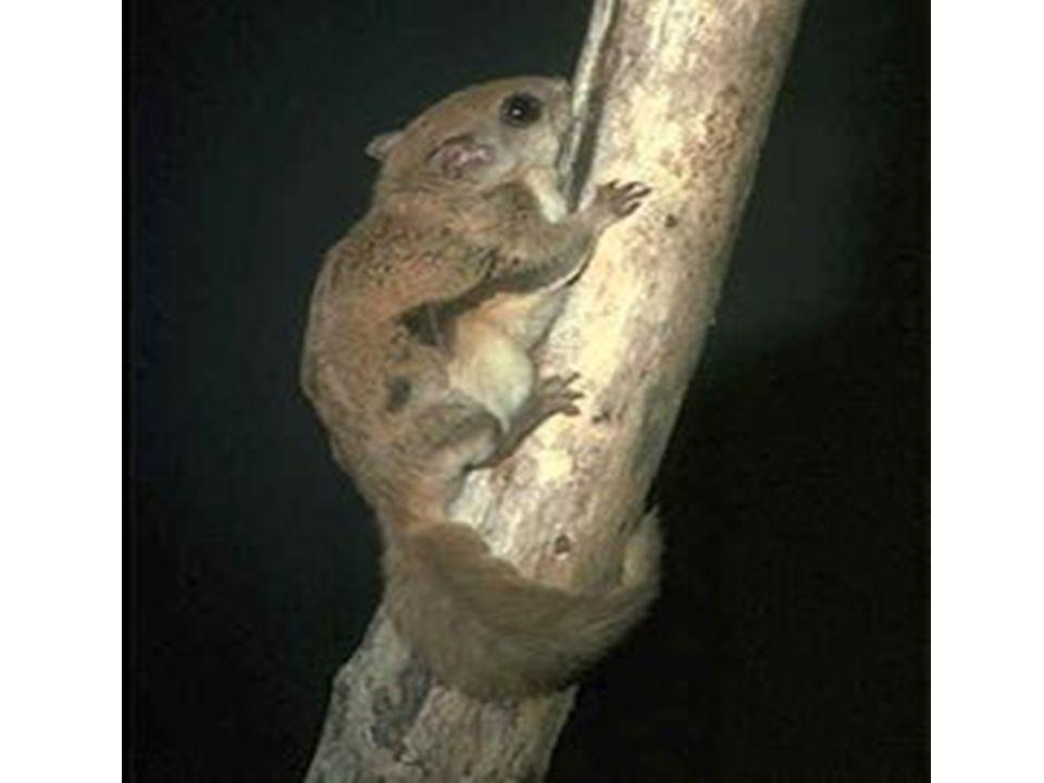 WIEWIÓRKA LATAJĄCA (polatucha) Wiewiórki nie latają aktywnie jak ptaki, czy nietoperze, wykonują lot ślizgowy na odległość nawet 80 m.