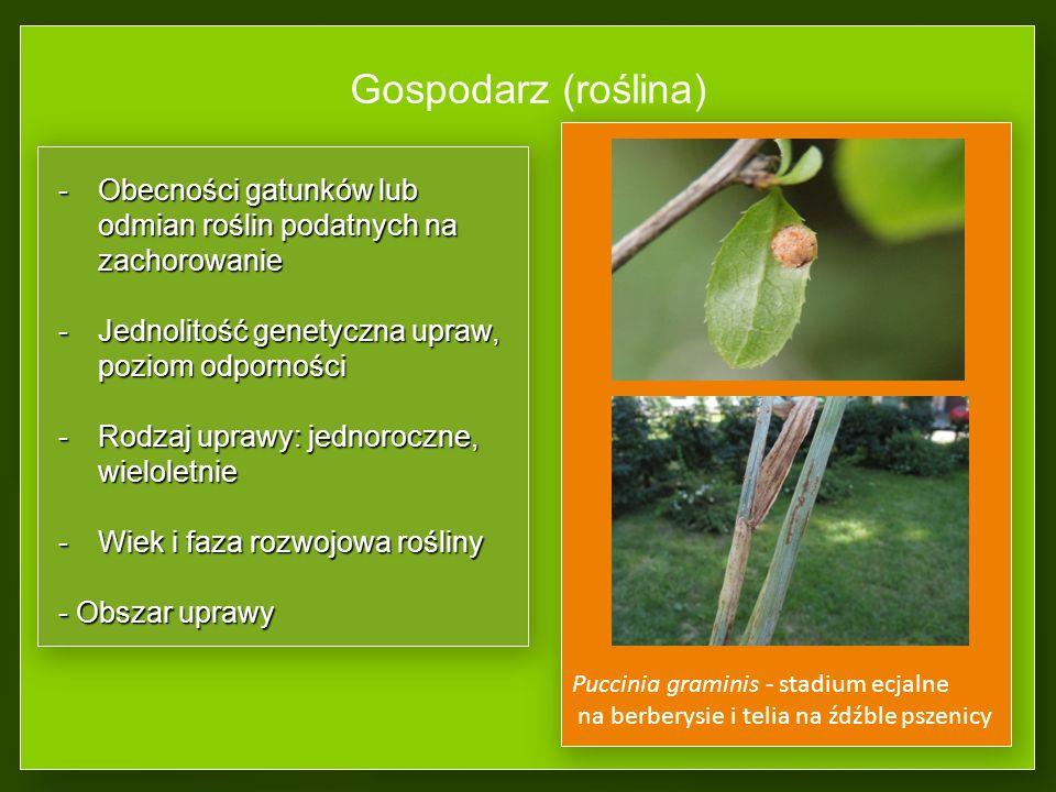 Gospodarz (roślina) -Obecności gatunków lub odmian roślin podatnych na zachorowanie -Jednolitość genetyczna upraw, poziom odporności -Rodzaj uprawy: jednoroczne, wieloletnie -Wiek i faza rozwojowa rośliny - Obszar uprawy Puccinia graminis - stadium ecjalne na berberysie i telia na źdźble pszenicy