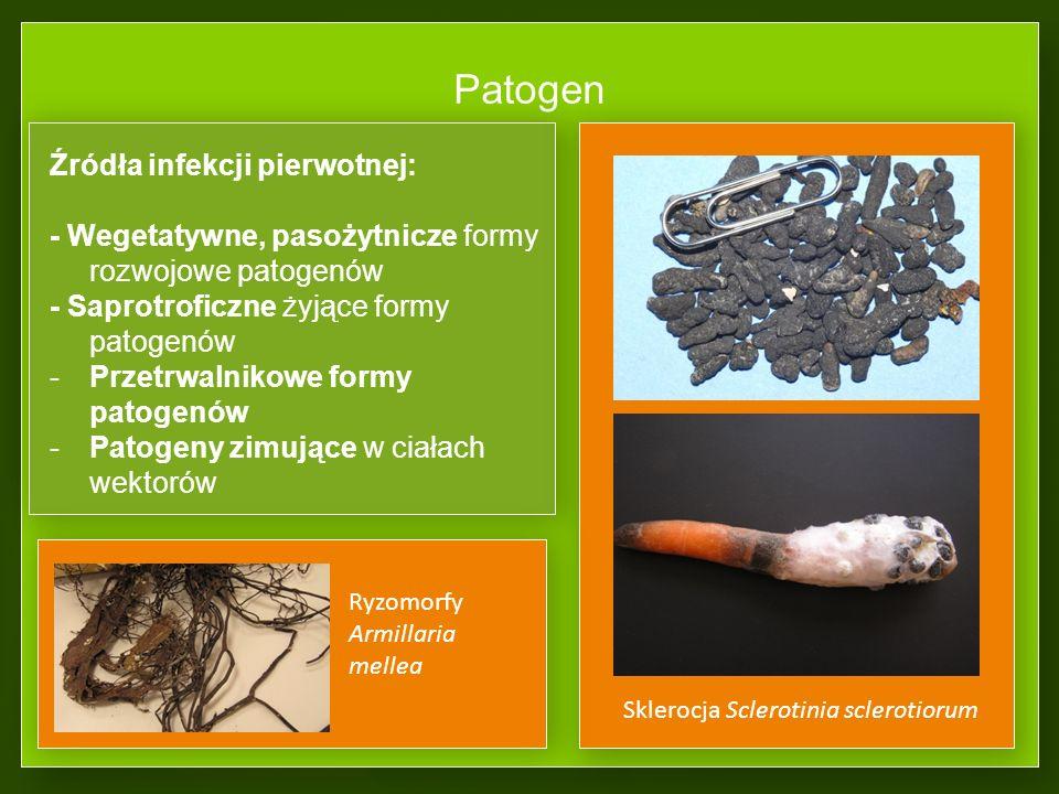 Patogen Źródła infekcji pierwotnej: - Wegetatywne, pasożytnicze formy rozwojowe patogenów - Saprotroficzne żyjące formy patogenów -Przetrwalnikowe formy patogenów -Patogeny zimujące w ciałach wektorów Sklerocja Sclerotinia sclerotiorum Ryzomorfy Armillaria mellea
