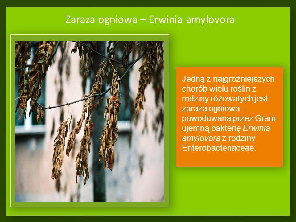 Objawy chorób bakteryjnych NarośleOznaki etiologiczne, wyciek bakterii Erwinia amylovora