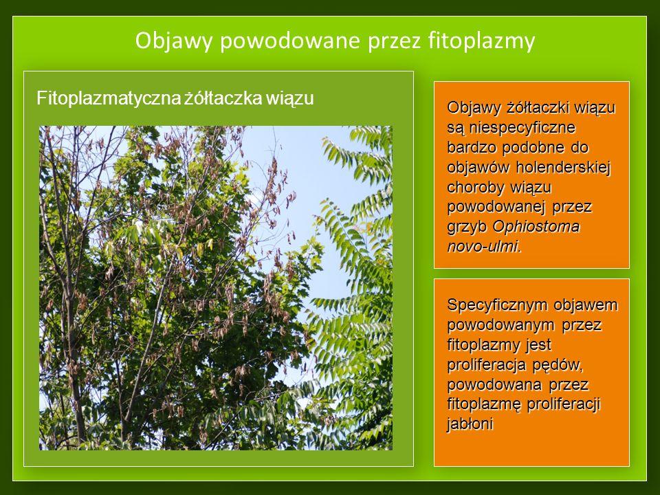Objawy powodowane przez fitoplazmy Fitoplazmatyczne zamieranie gruszy ŻółtaczkiŻółtaczki Karłowatość roślinKarłowatość roślin Zaburzenia wzrostu i rozwoju:Zaburzenia wzrostu i rozwoju: drobnienie zielonych organówdrobnienie zielonych organów zgrubienia lub staśmienia pędówzgrubienia lub staśmienia pędów Wytwarzanie licznych pędów lub pączków śpiących (proliferacja, czarcie miotły)Wytwarzanie licznych pędów lub pączków śpiących (proliferacja, czarcie miotły) Zielenienie kwiatów lub ich sterylnośćZielenienie kwiatów lub ich sterylność Fyllodia –przekształcanie się płatków korony lub całych organów generatywnych w drobne listkiFyllodia –przekształcanie się płatków korony lub całych organów generatywnych w drobne listki