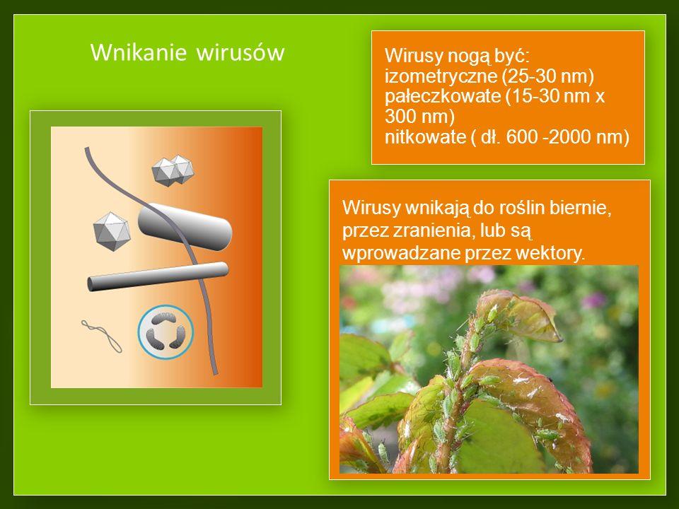 Wnikanie wirusów Wirusy wnikają do roślin biernie, przez zranienia, lub są wprowadzane przez wektory.