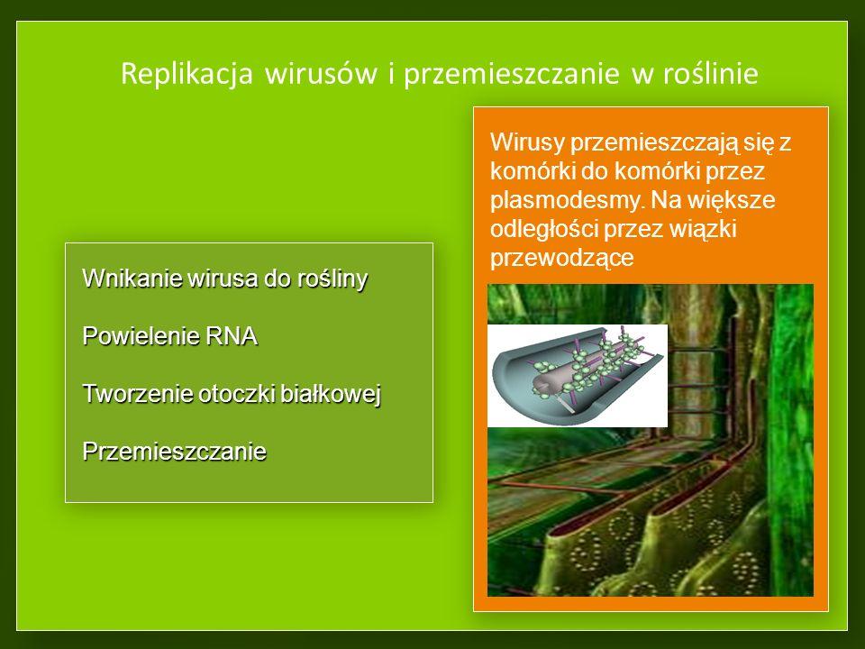 Replikacja wirusów i przemieszczanie w roślinie Wnikanie wirusa do rośliny Powielenie RNA Tworzenie otoczki białkowej Przemieszczanie Wirusy przemieszczają się z komórki do komórki przez plasmodesmy.