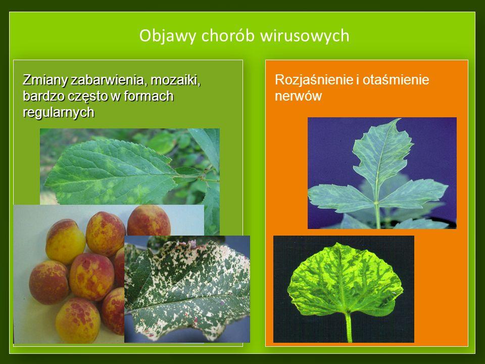 Zaraza ogniowa – Erwinia amylovora Jedną z najgroźniejszych chorób wielu roślin z rodziny różowatych jest zaraza ogniowa – powodowana przez Gram- ujemną bakterię Erwinia amylovora z rodziny Enterobacteriaceae.