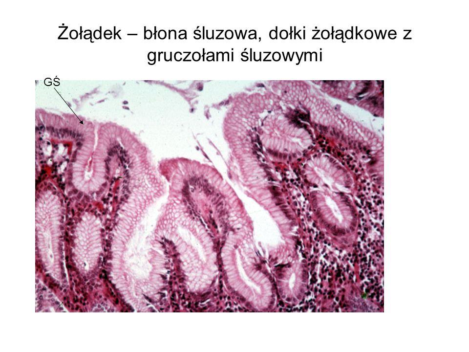 Żołądek – błona śluzowa, dołki żołądkowe z gruczołami śluzowymi GŚ