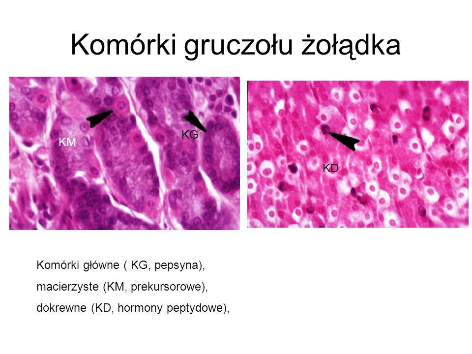 Komórki gruczołu żołądka KM KG KD Komórki główne ( KG, pepsyna), macierzyste (KM, prekursorowe), dokrewne (KD, hormony peptydowe),