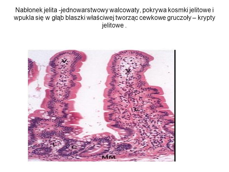 Nabłonek jelita -jednowarstwowy walcowaty, pokrywa kosmki jelitowe i wpukla się w głąb blaszki właściwej tworząc cewkowe gruczoły – krypty jelitowe.