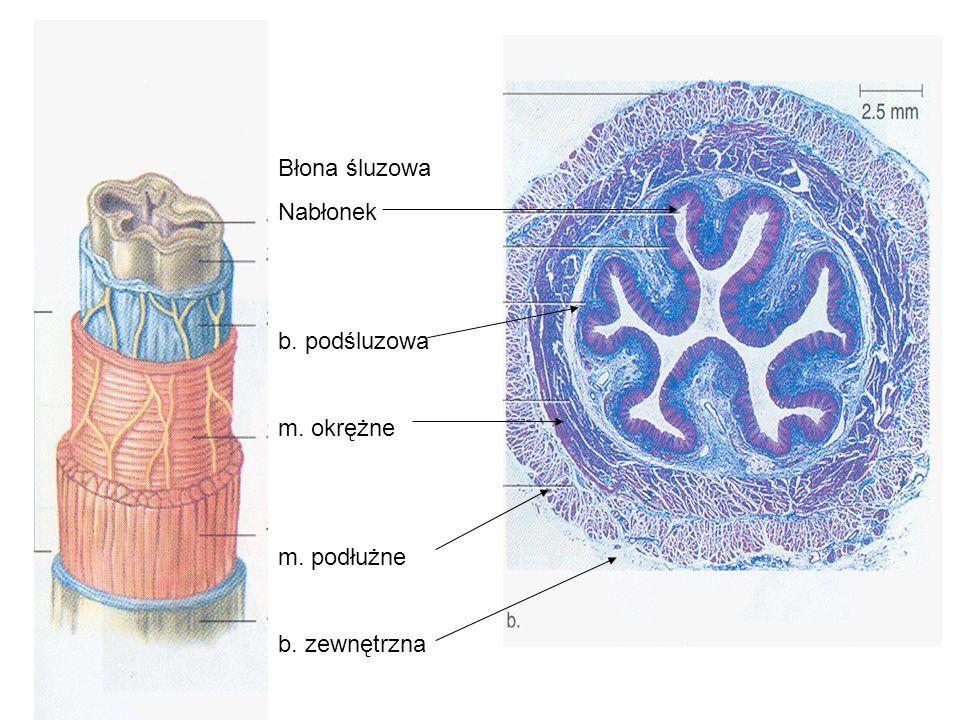 Błona śluzowa Nabłonek b. podśluzowa m. okrężne m. podłużne b. zewnętrzna