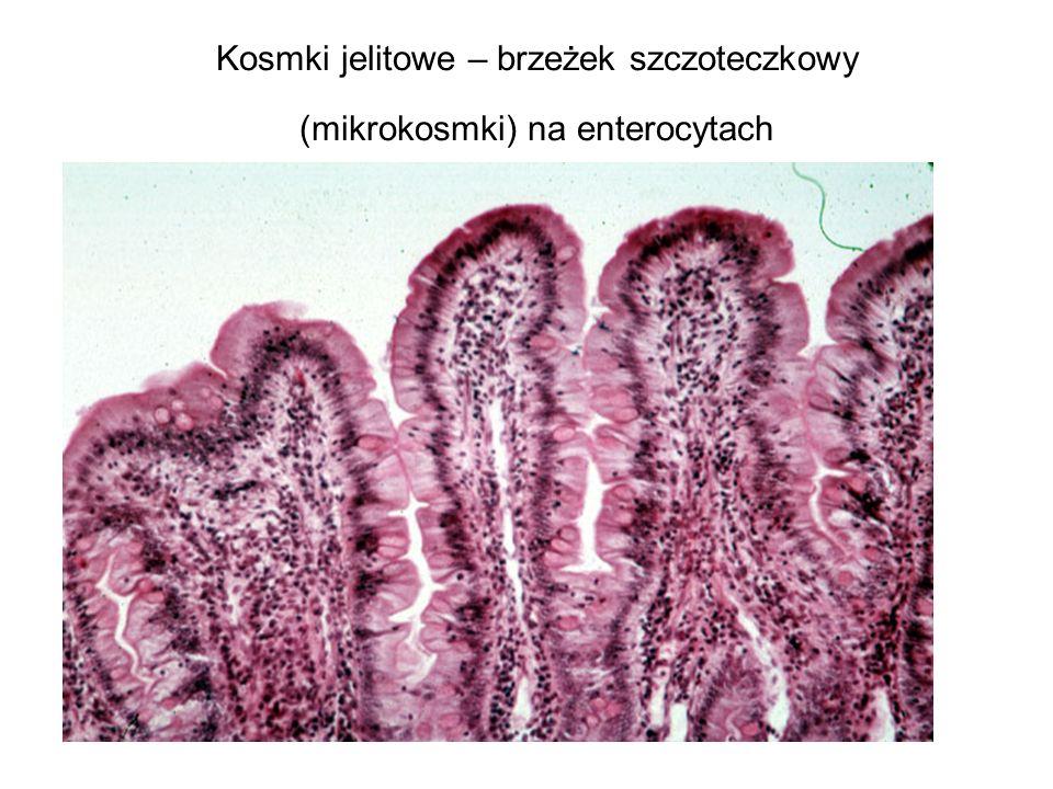 Kosmki jelitowe – brzeżek szczoteczkowy (mikrokosmki) na enterocytach