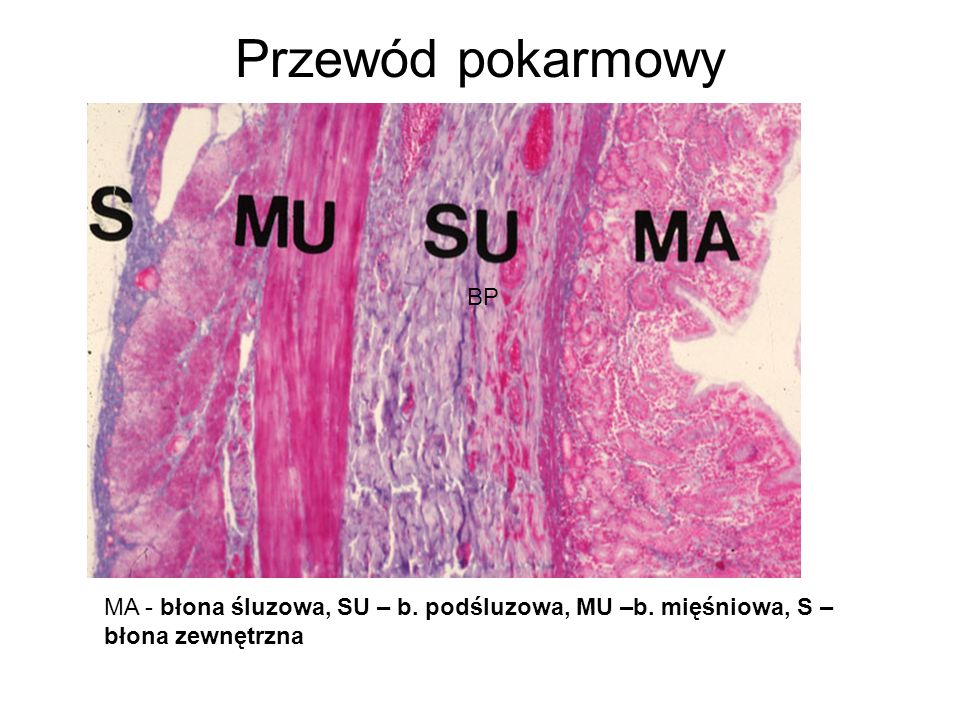Przewód pokarmowy BP MA - błona śluzowa, SU – b. podśluzowa, MU –b. mięśniowa, S – błona zewnętrzna