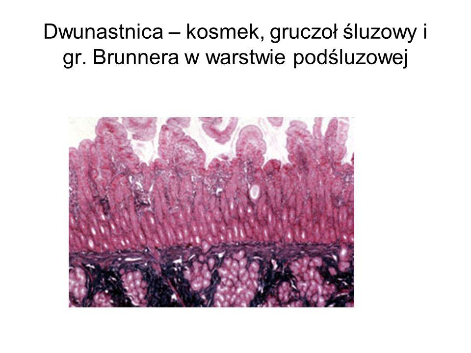 Dwunastnica – kosmek, gruczoł śluzowy i gr. Brunnera w warstwie podśluzowej
