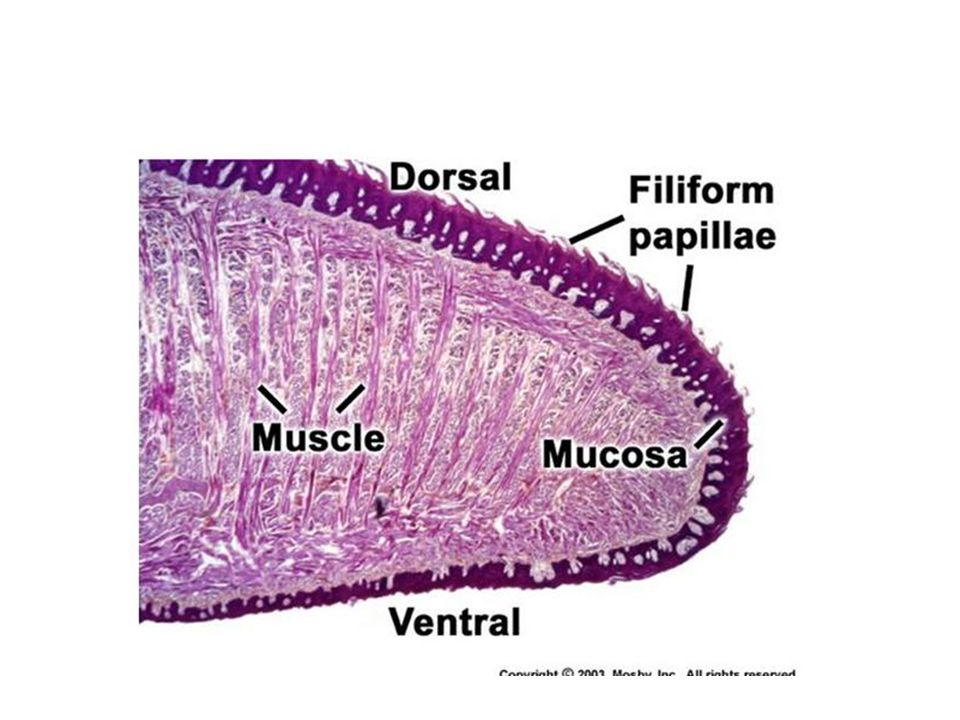 Brodawki języka –przednie 2/3 długości Na powierzchni grzbietowej błona śluzowa tworzy niewielkie uwypuklenia – brodawki języka: (1) brodawki nitkowate: najliczniejsze, stożkowate, wysokość ok.