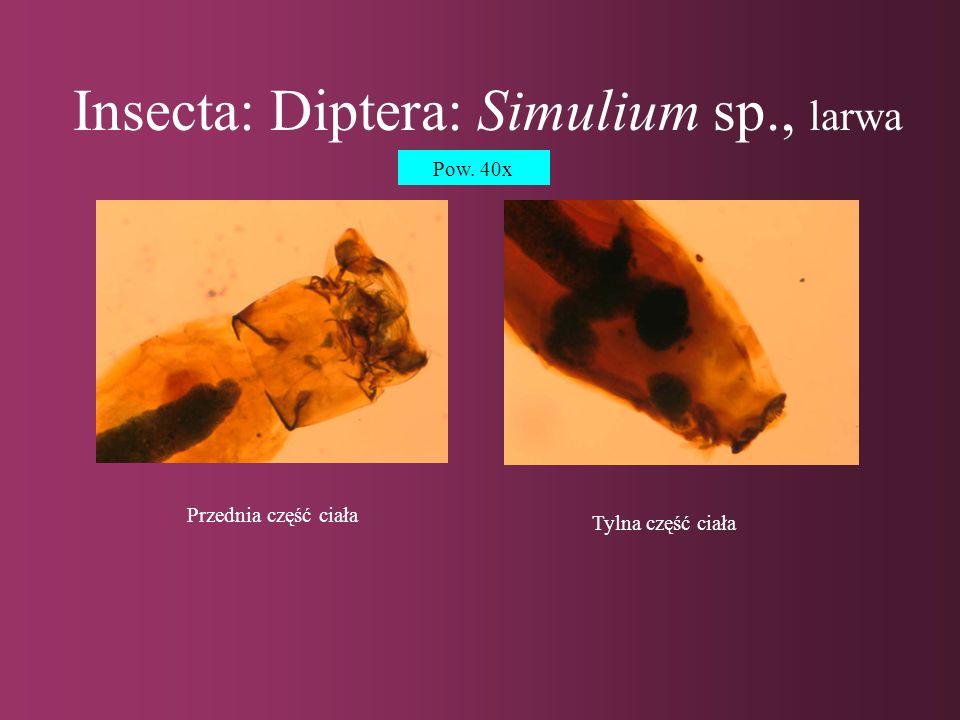 Insecta: Diptera: Simulium sp., poczwarka Przednia część ciała Tylna część ciała Pow.