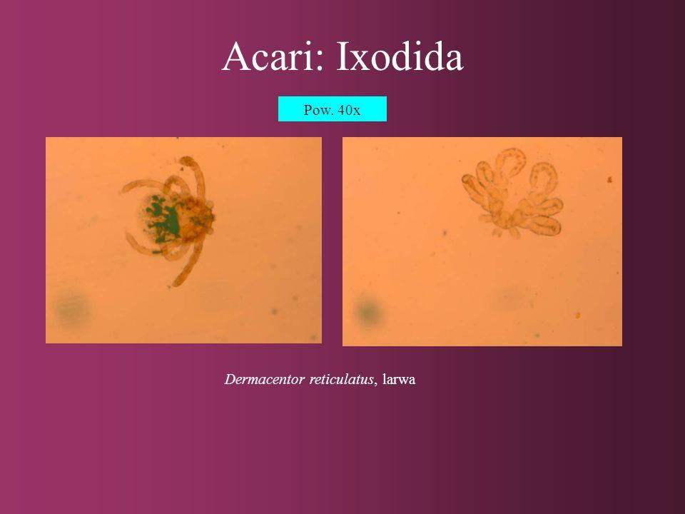 Acari: Ixodida Dermacentor reticulatus, osobnik dorosły Pow. 40x