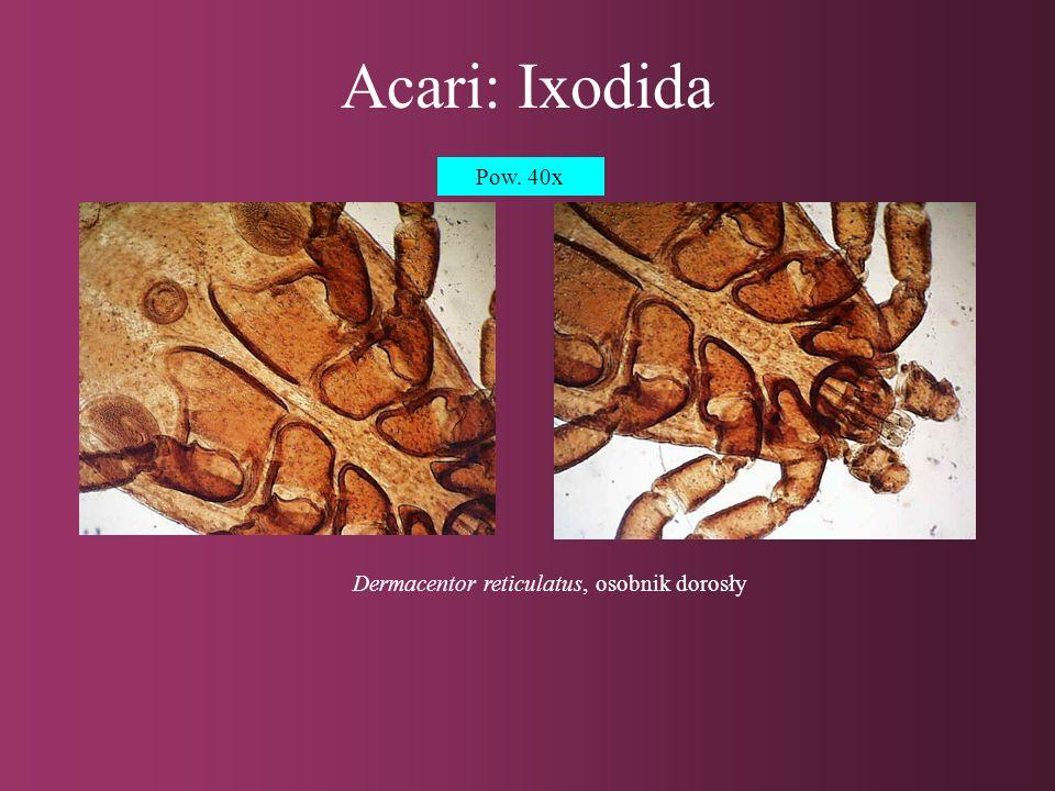 Acari: Gamasida, Actinedida Dermanyssus gallinae, osobnik dorosłyNeotrombicula autumnalis, larwa Pow.