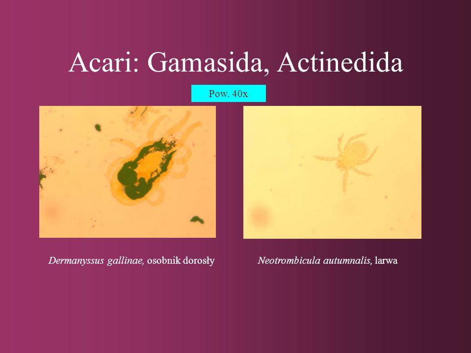 Acari: Acaridida Acarus siro, osobnik dorosły, pow.