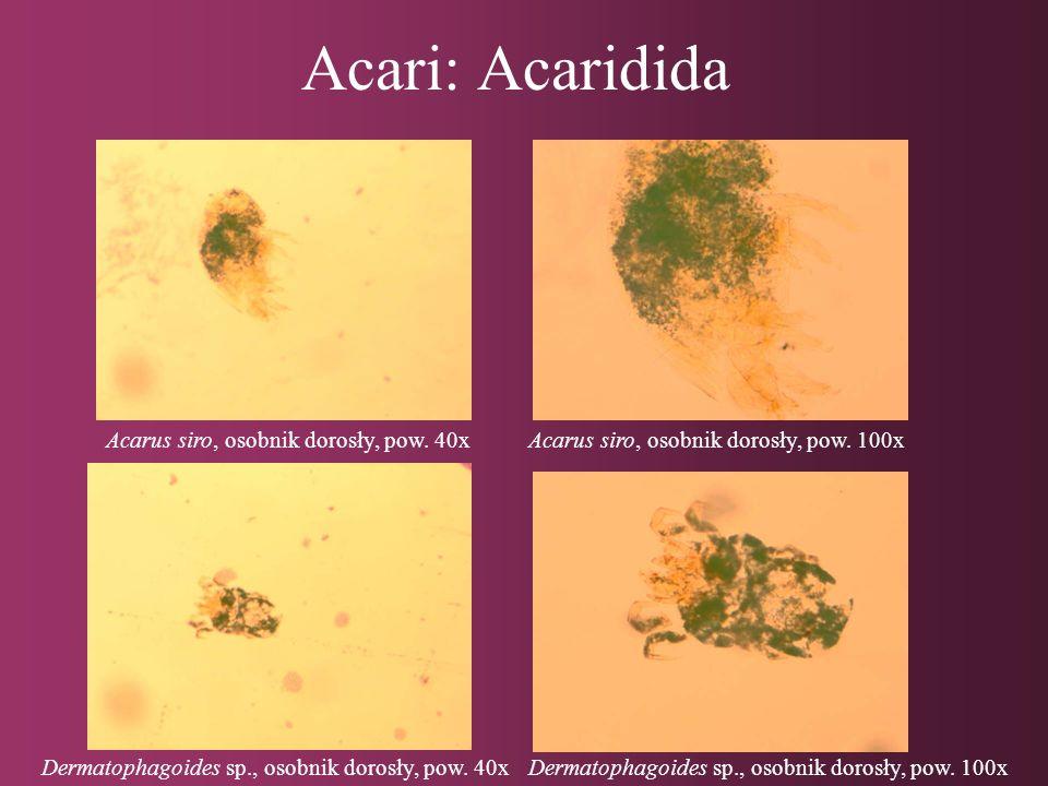 Acari: Acaridida Tyrophagus putrescentiae, osobnik dorosły, pow.