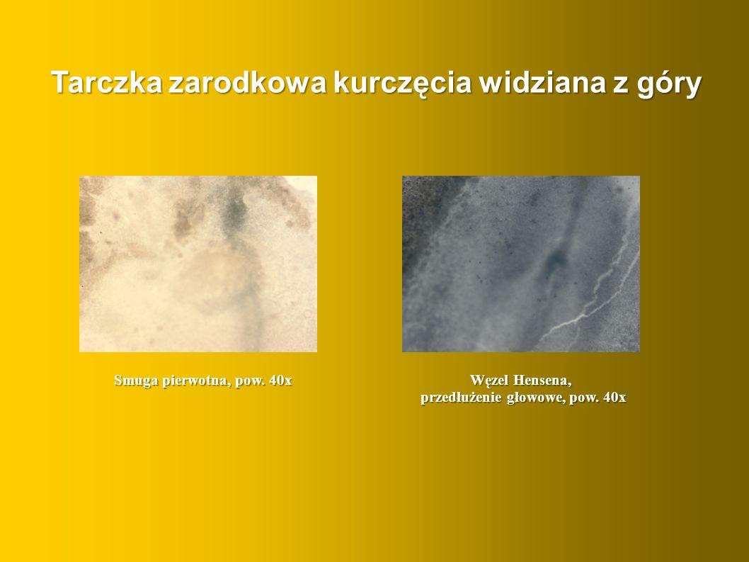 Smuga pierwotna, pow. 40x Węzel Hensena, przedłużenie głowowe, pow. 40x Tarczka zarodkowa kurczęcia widziana z góry