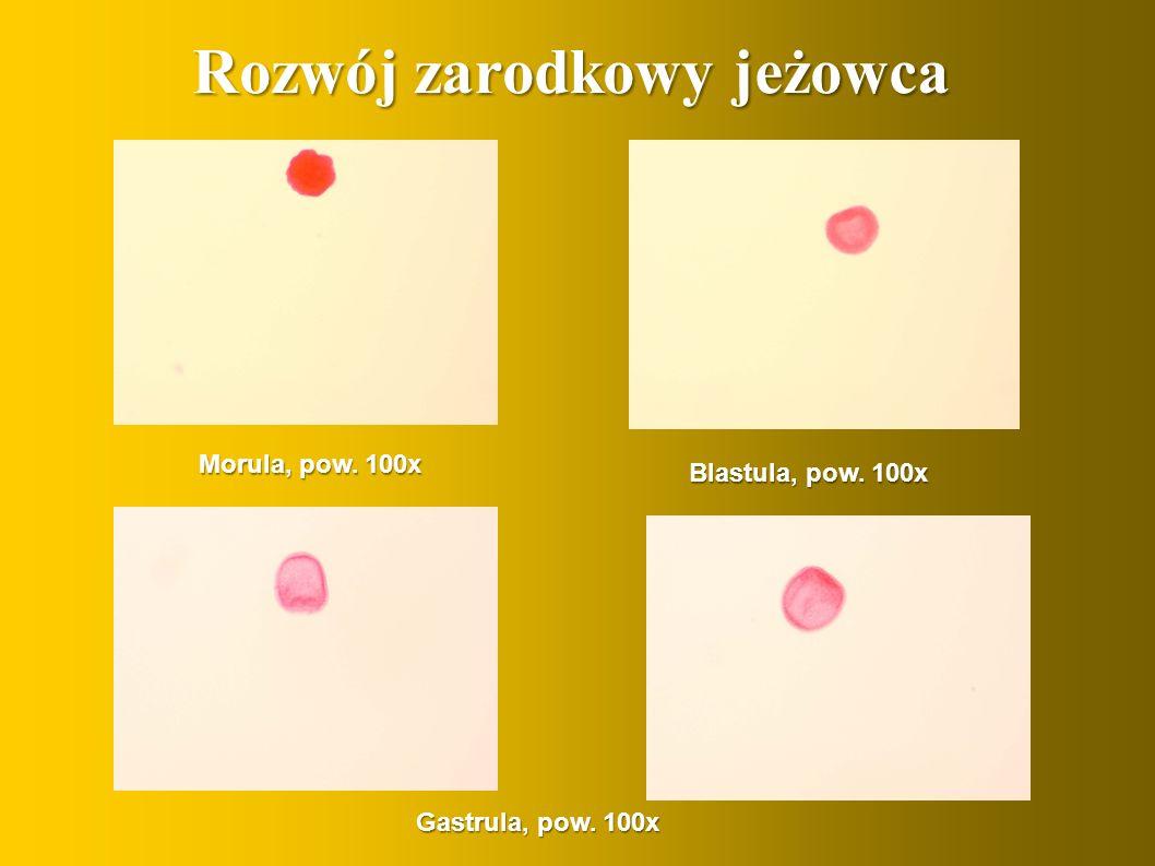 Rozwój zarodkowy jeżowca Morula, pow. 100x Blastula, pow. 100x Gastrula, pow. 100x