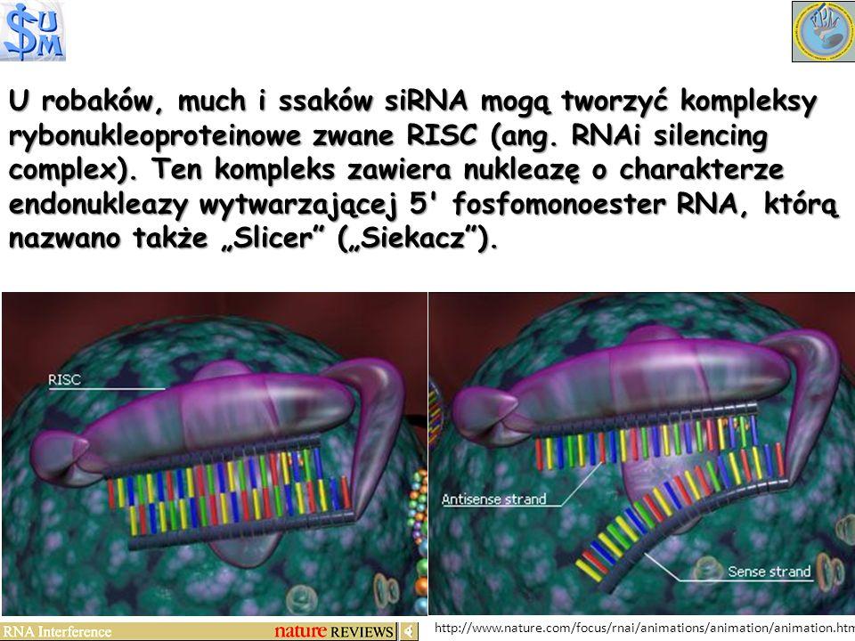 http://www.nature.com/focus/rnai/animations/animation/animation.htm U robaków, much i ssaków siRNA mogą tworzyć kompleksy rybonukleoproteinowe zwane R