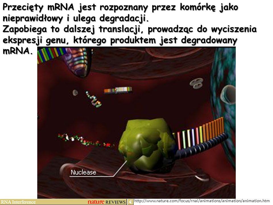 http://www.nature.com/focus/rnai/animations/animation/animation.htm Przecięty mRNA jest rozpoznany przez komórkę jako nieprawidłowy i ulega degradacji