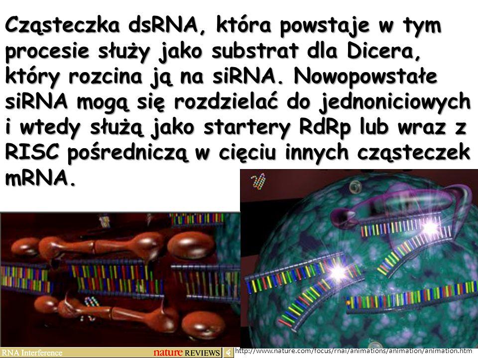 http://www.nature.com/focus/rnai/animations/animation/animation.htm Cząsteczka dsRNA, która powstaje w tym procesie służy jako substrat dla Dicera, kt