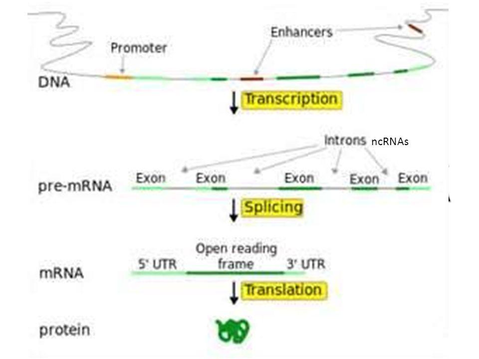 POWSZECHNIE POD POJĘCIEM GENU ROZUMIE SIĘ SEKWENCJĘ DNA, SŁUŻĄCĄ JAKO INFORMACJA GENETYCZNA, TRANSKRYBOWANA DO KODUJĄCYCH BIAŁKO CZĄSTECZEK RNA ncRNAs