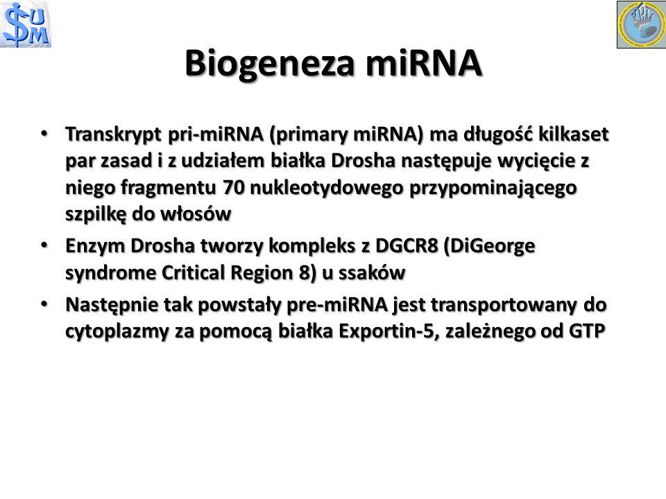 Transkrypt pri-miRNA (primary miRNA) ma długość kilkaset par zasad i z udziałem białka Drosha następuje wycięcie z niego fragmentu 70 nukleotydowego p