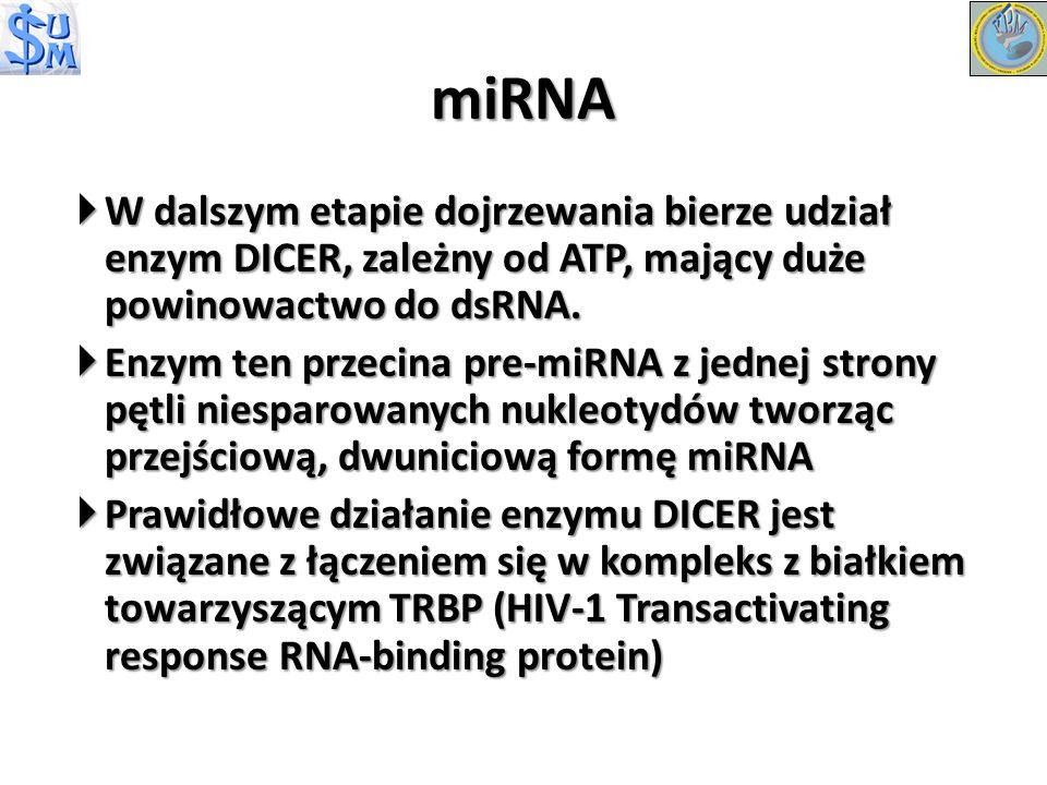W dalszym etapie dojrzewania bierze udział enzym DICER, zależny od ATP, mający duże powinowactwo do dsRNA. W dalszym etapie dojrzewania bierze udział