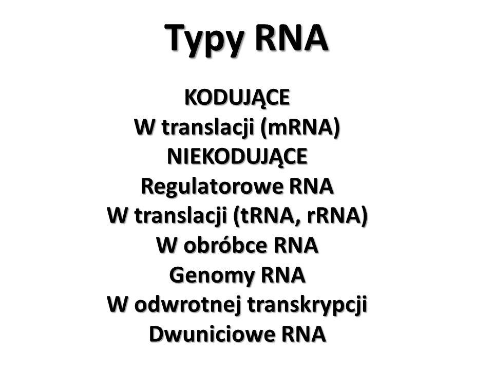 Typy RNA KODUJĄCE W translacji (mRNA) NIEKODUJĄCE Regulatorowe RNA W translacji (tRNA, rRNA) W obróbce RNA Genomy RNA W odwrotnej transkrypcji Dwunici
