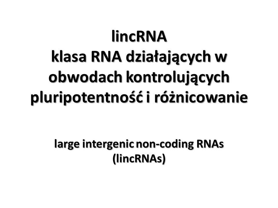 lincRNA klasa RNA działających w obwodach kontrolujących pluripotentność i różnicowanie large intergenic non-coding RNAs (lincRNAs)