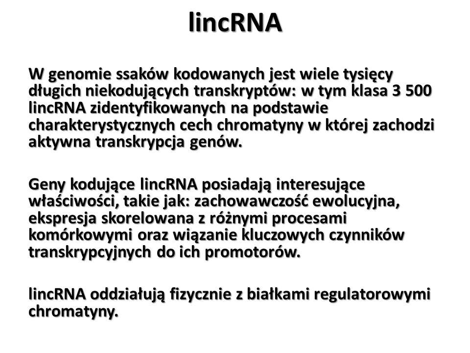 lincRNA W genomie ssaków kodowanych jest wiele tysięcy długich niekodujących transkryptów: w tym klasa 3 500 lincRNA zidentyfikowanych na podstawie ch