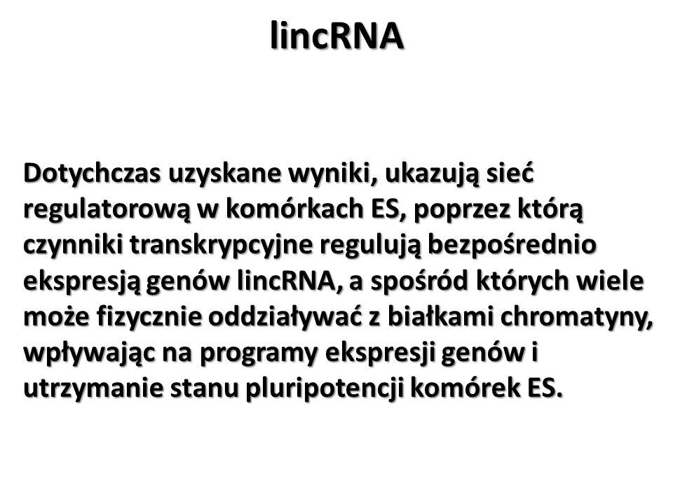 lincRNA Dotychczas uzyskane wyniki, ukazują sieć regulatorową w komórkach ES, poprzez którą czynniki transkrypcyjne regulują bezpośrednio ekspresją ge