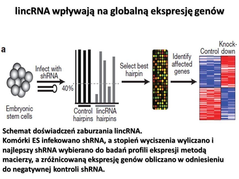 lincRNA wpływają na globalną ekspresję genów Schemat doświadczeń zaburzania lincRNA. Komórki ES infekowano shRNA, a stopień wyciszenia wyliczano i naj