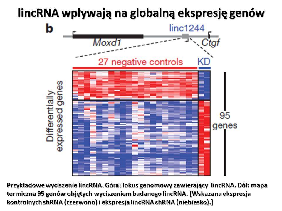 lincRNA wpływają na globalną ekspresję genów Przykładowe wyciszenie lincRNA. Góra: lokus genomowy zawierający lincRNA. Dół: mapa termiczna 95 genów ob