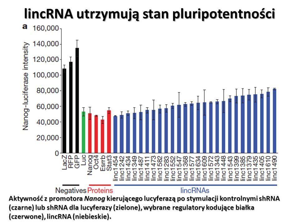 lincRNA utrzymują stan pluripotentności Aktywność z promotora Nanog kierującego lucyferazą po stymulacji kontrolnymi shRNA (czarne) lub shRNA dla lucy