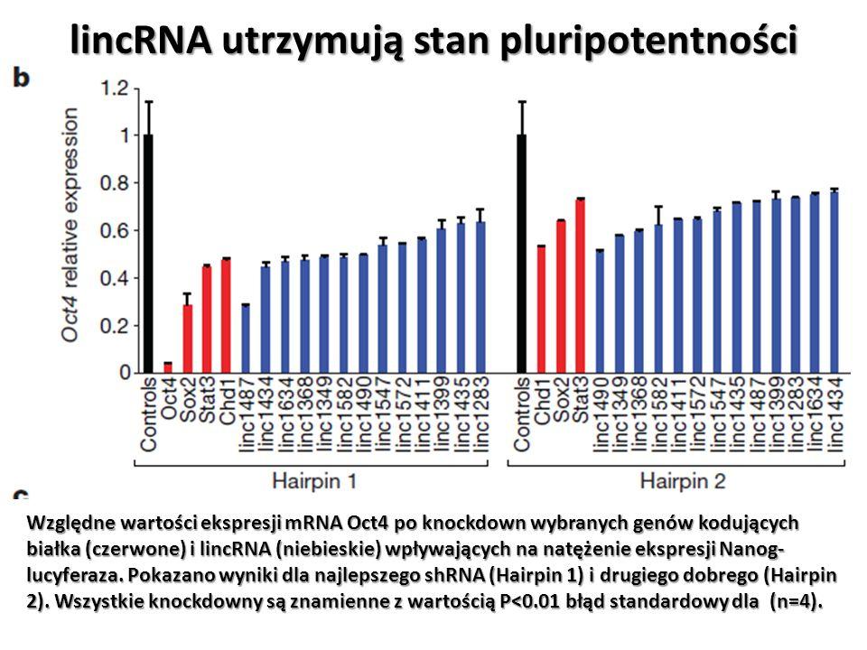 lincRNA utrzymują stan pluripotentności Względne wartości ekspresji mRNA Oct4 po knockdown wybranych genów kodujących białka (czerwone) i lincRNA (nie