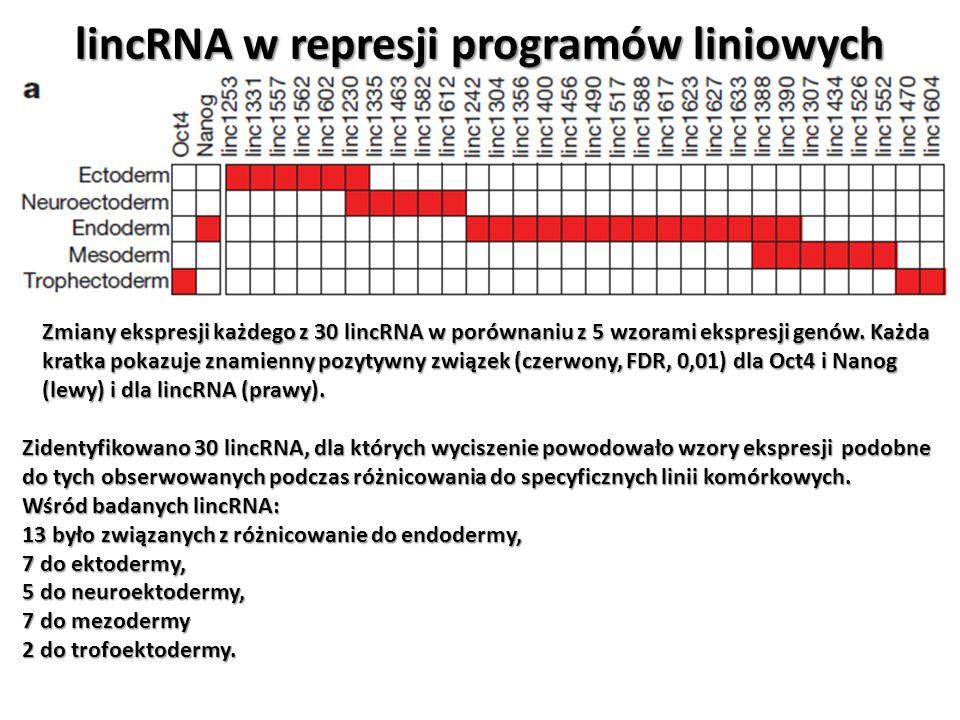 lincRNA w represji programów liniowych Zmiany ekspresji każdego z 30 lincRNA w porównaniu z 5 wzorami ekspresji genów. Każda kratka pokazuje znamienny