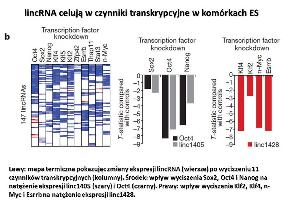 lincRNA celują w czynniki transkrypcyjne w komórkach ES Lewy: mapa termiczna pokazując zmiany ekspresji lincRNA (wiersze) po wyciszeniu 11 czynników t