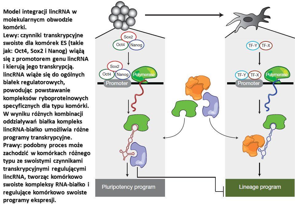 Model integracji lincRNA w molekularnycm obwodzie komórki. Lewy: czynniki transkrypcyjne swoiste dla komórek ES (takie jak: Oct4, Sox2 i Nanog) wiążą