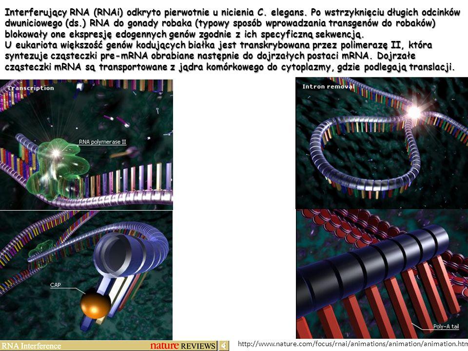 http://www.nature.com/focus/rnai/animations/animation/animation.htm Interferujący RNA (RNAi) odkryto pierwotnie u nicienia C. elegans. Po wstrzyknięci