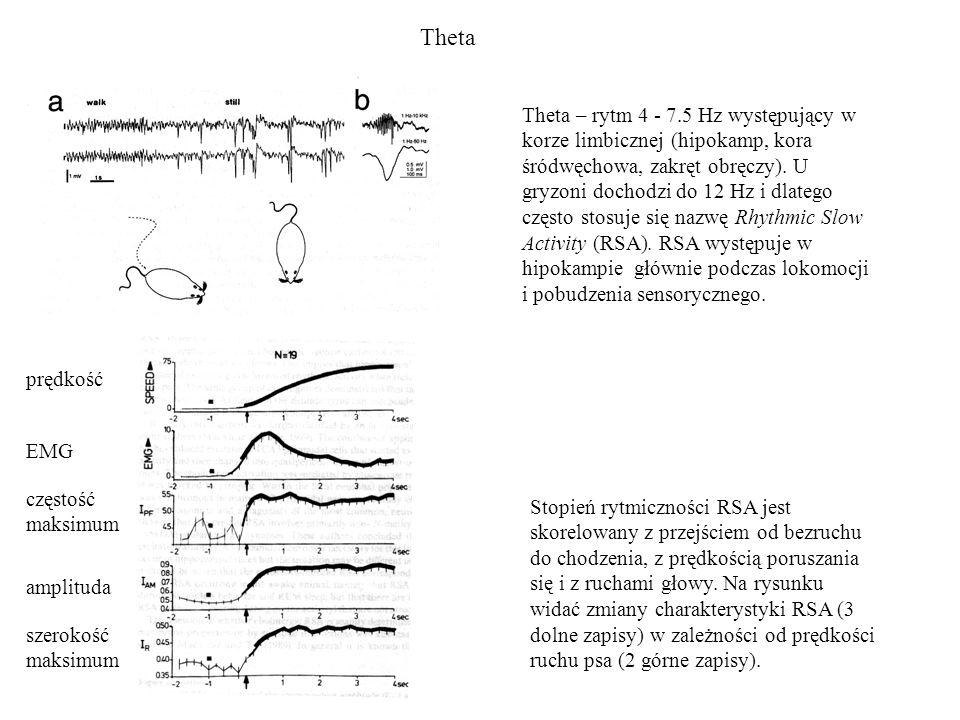 Theta Theta – rytm 4 - 7.5 Hz występujący w korze limbicznej (hipokamp, kora śródwęchowa, zakręt obręczy). U gryzoni dochodzi do 12 Hz i dlatego częst