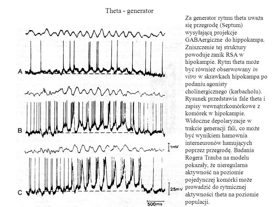 Theta - generator Za generator rytmu theta uważa się przegrodę (Septum) wysyłającą projekcje GABAergiczne do hippokampa. Zniszczenie tej struktury pow