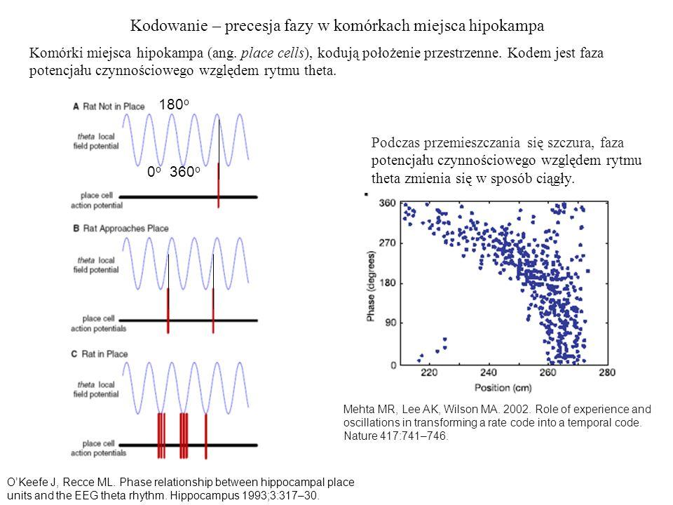 Kodowanie – precesja fazy w komórkach miejsca hipokampa 0o0o 180 o 360 o OKeefe J, Recce ML. Phase relationship between hippocampal place units and th